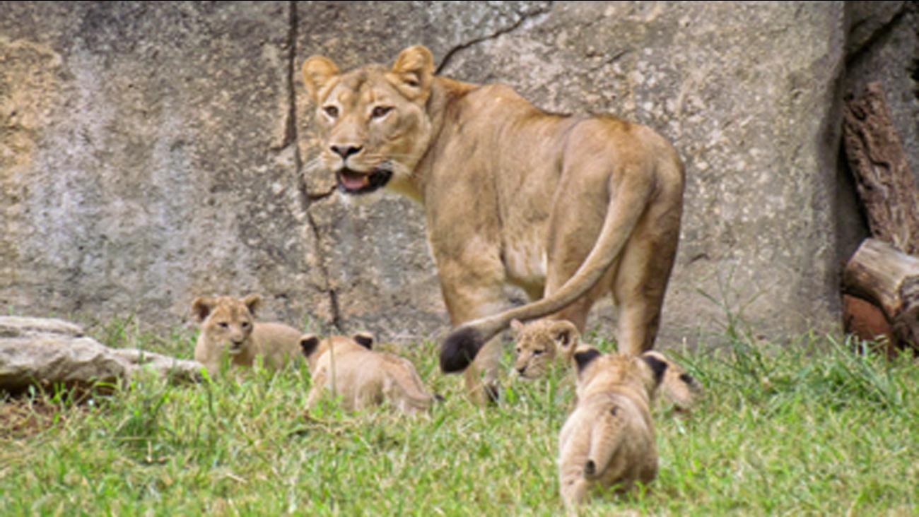 NC zoo lion cubs