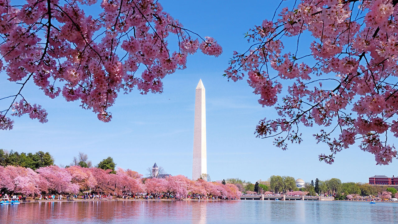 National Cherry Blossom Festival 2019 When Is Peak Bloom How To Go Abc7 Chicago