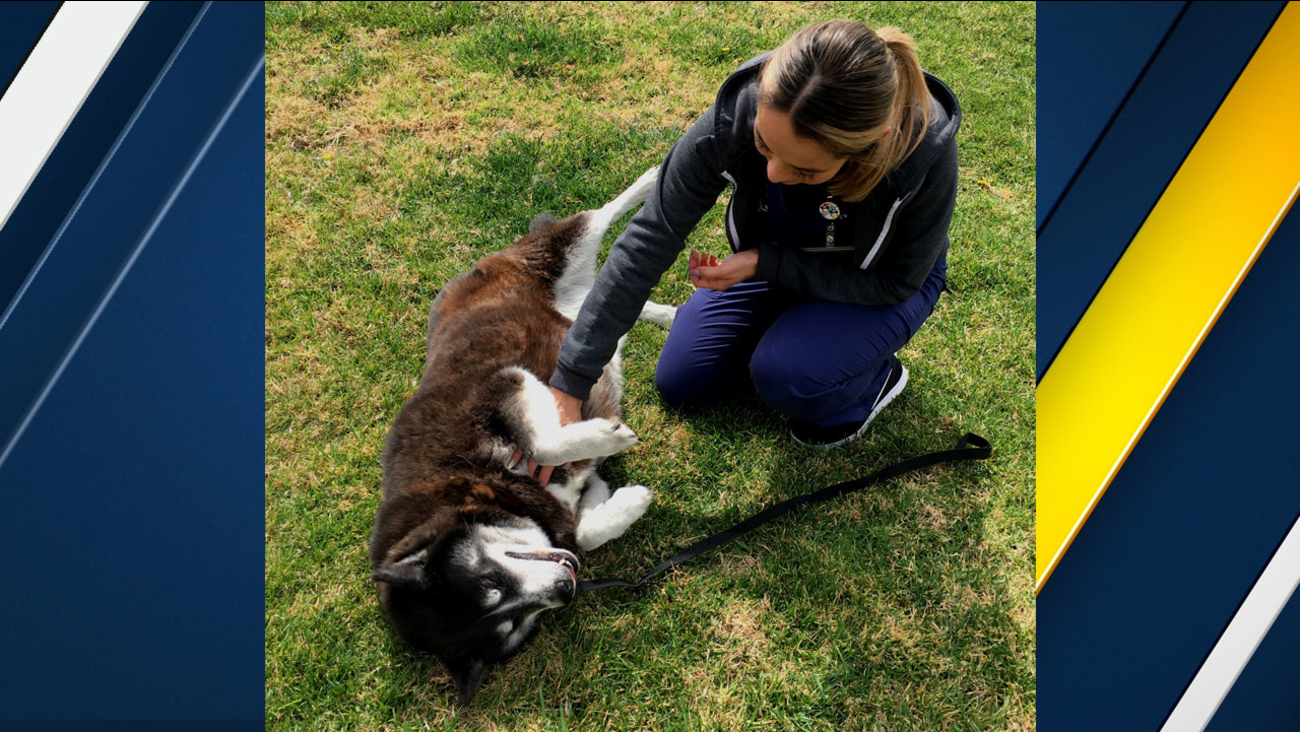 Azula, a 7-year-old female Siberian husky, is shown in a photo with a caregiver during her time at the Riverside County Animal Shelter.
