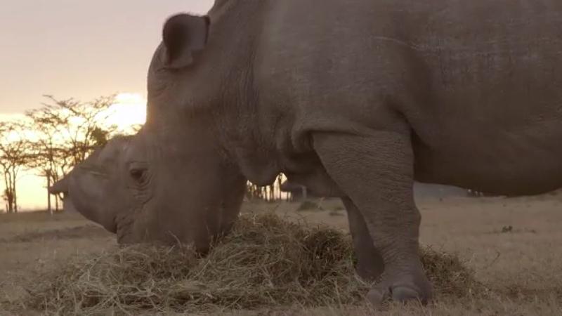 World's last male northern white rhino, Sudan, dies | abc13 com