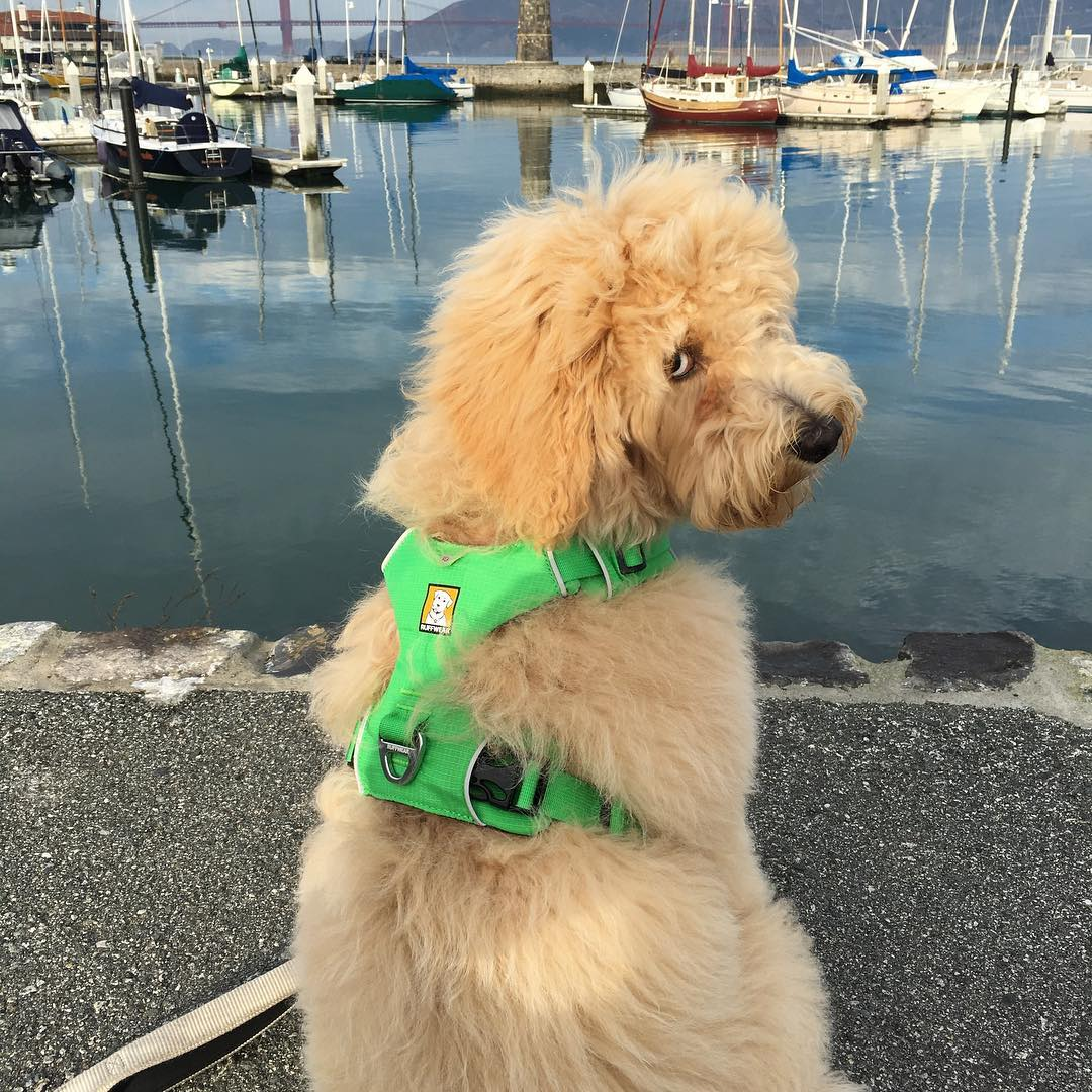 <div class='meta'><div class='origin-logo' data-origin='none'></div><span class='caption-text' data-credit='Photo submitted to KGO-TV by moosey_thegoldendoodle/Instagram'>In honor of National Puppy Day, ABC7 News is featuring photos of furry friends sent in by our viewers and our news team. Share yours using #PuppiesOn7.</span></div>