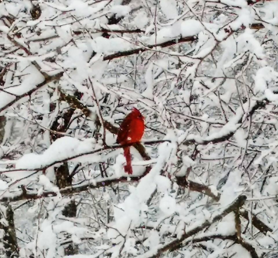"<div class=""meta image-caption""><div class=""origin-logo origin-image none""><span>none</span></div><span class=""caption-text"">A cardinal perches atop a snowy tree in Cinnaminson, NJ. (Brenda Charest)</span></div>"