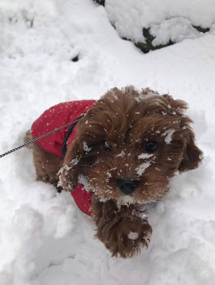 """<div class=""""meta image-caption""""><div class=""""origin-logo origin-image none""""><span>none</span></div><span class=""""caption-text"""">Even though Bentley can barely stand in the snow, he is still enjoying his day. (Jaclyn Sioutis)</span></div>"""