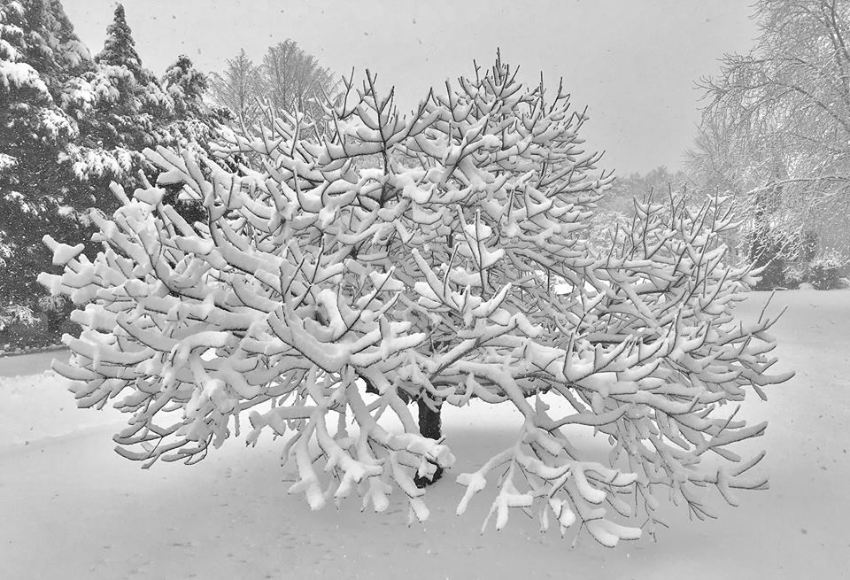 """<div class=""""meta image-caption""""><div class=""""origin-logo origin-image none""""><span>none</span></div><span class=""""caption-text"""">Snow weighs down a tree in Kirkwood, Del. (Gibson C. Yoder)</span></div>"""