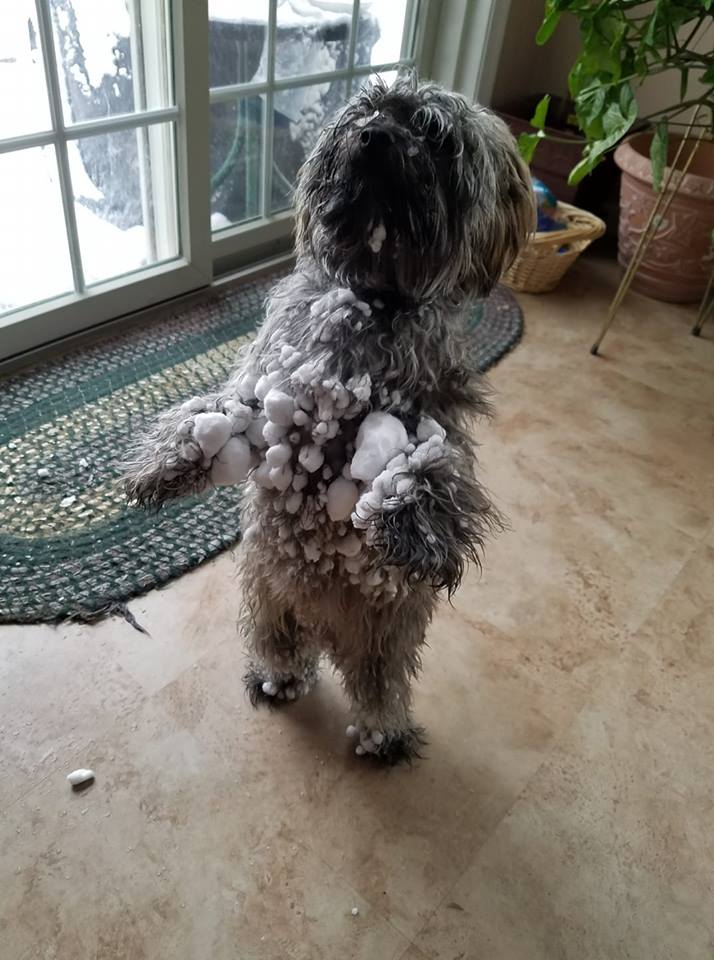 """<div class=""""meta image-caption""""><div class=""""origin-logo origin-image none""""><span>none</span></div><span class=""""caption-text"""">""""This is what happens when you have a short dog and alot of snow - a canine snowball/mini sasquatch!"""" (JoAnn Herman Galinsky)</span></div>"""