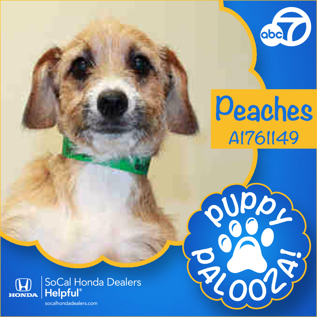 <div class='meta'><div class='origin-logo' data-origin='KABC'></div><span class='caption-text' data-credit=''>ABC7 has 28 puppies up for adoption as part of our 5th annual Puppy Palooza event in honor of National Puppy Day.</span></div>