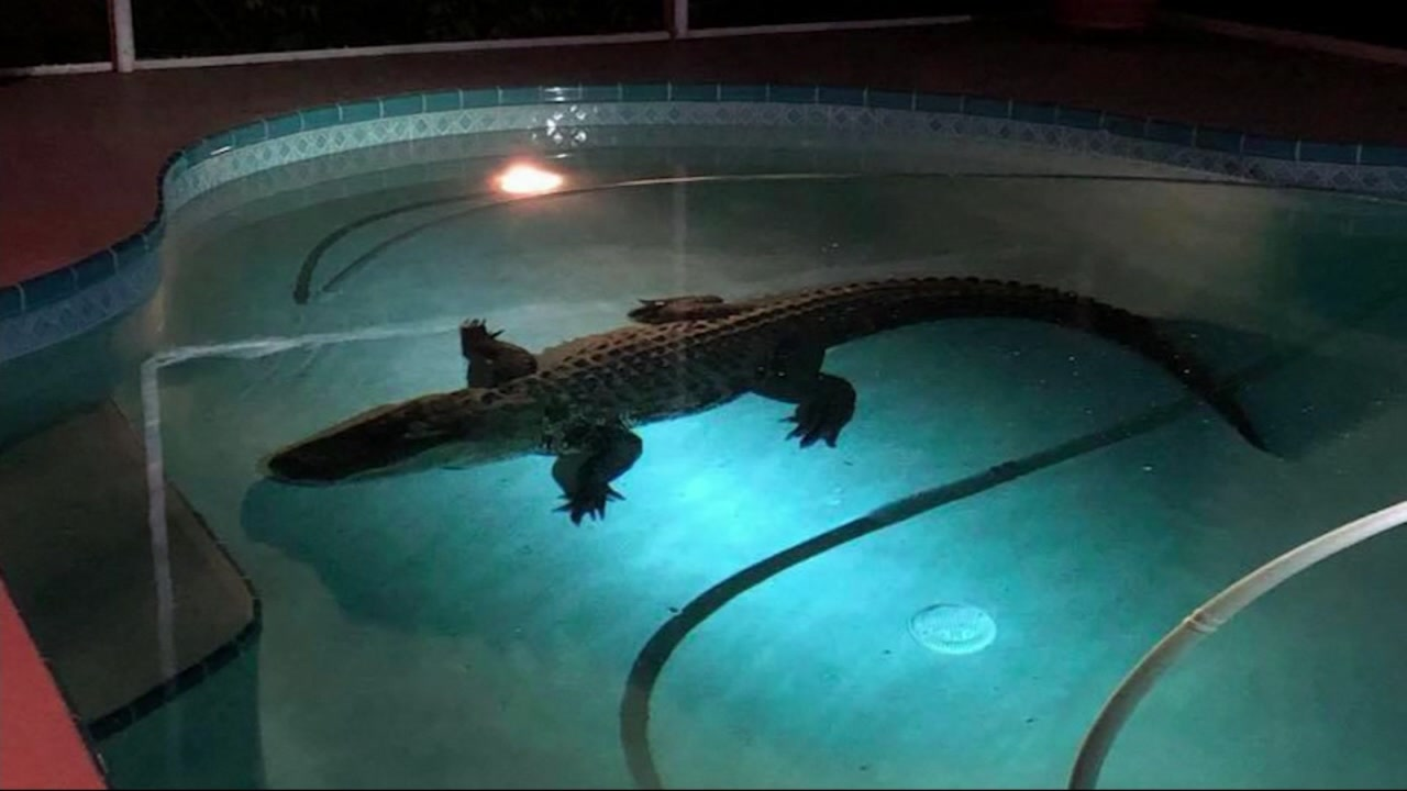 Florida Man Finds 11 Foot Alligator Swimming In His Pool