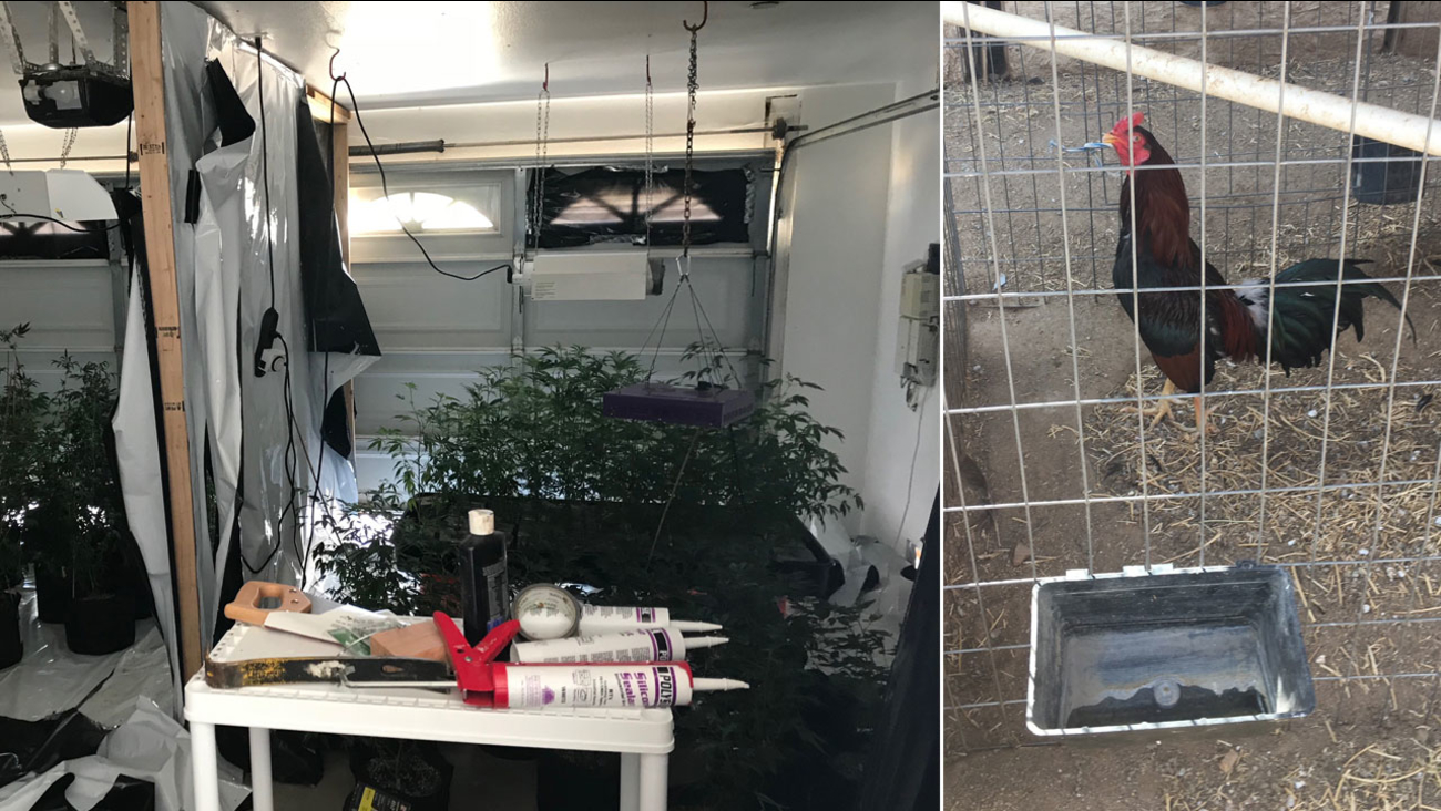 An indoor marijuana grow is shown inside a Victorville home alongside a rooster found on the property.