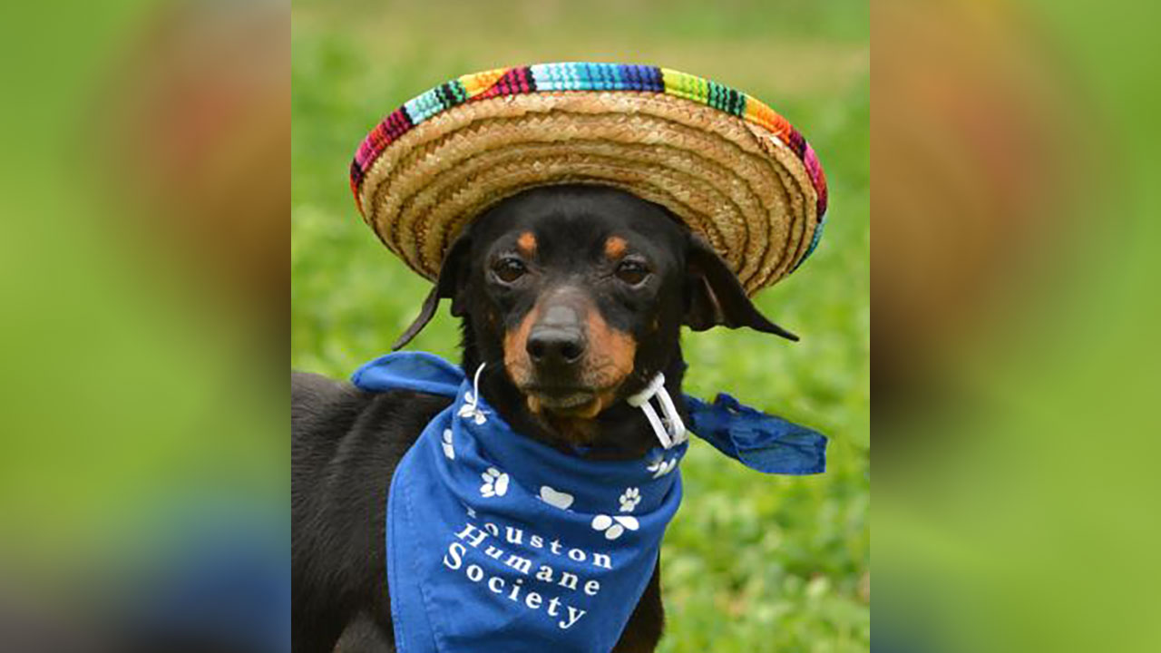 <div class='meta'><div class='origin-logo' data-origin='none'></div><span class='caption-text' data-credit='Houston Humane Society'>Bobby is a 7-year-old dachshund/Chihuahua mix in need of foster care. He can be a little shy around new people. He'll need a foster through heartworm treatment.</span></div>