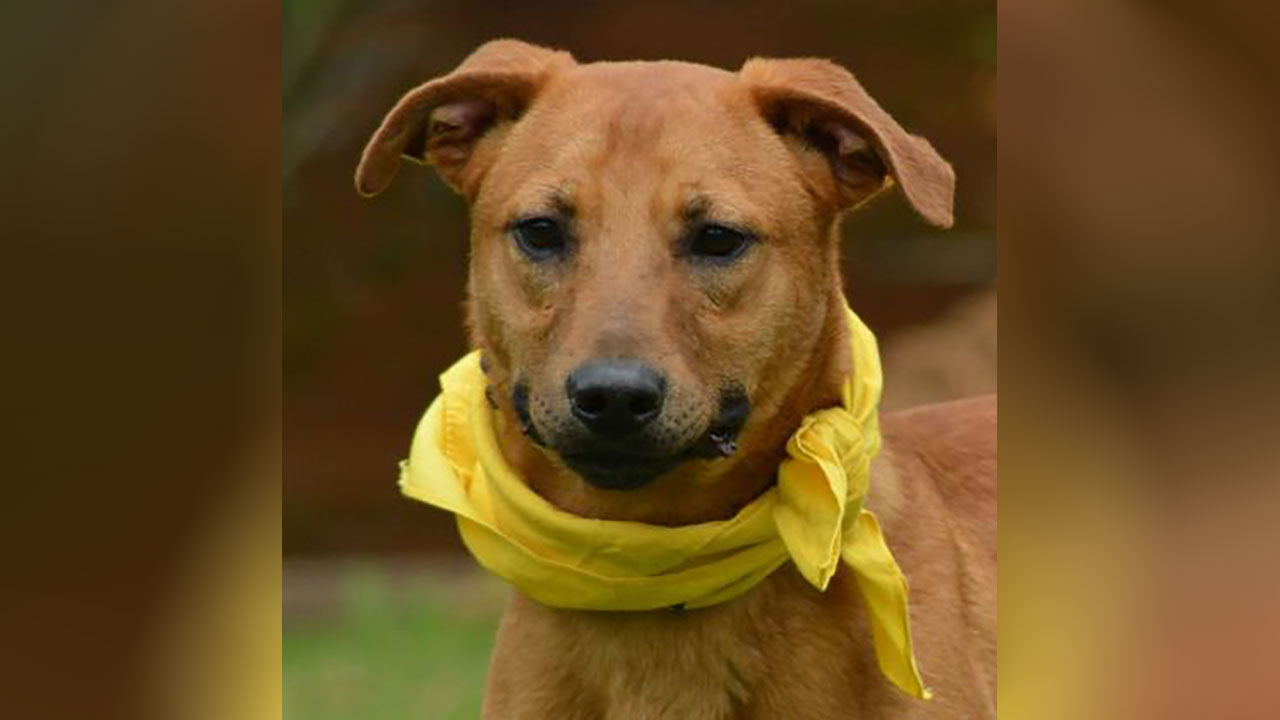 <div class='meta'><div class='origin-logo' data-origin='none'></div><span class='caption-text' data-credit='Houston Humane Society'>Mosley is a 1 year-old retriever mix and is one of the few dogs from the hoarding case that is heartworm negative. A foster home would help him work on his confidence.</span></div>