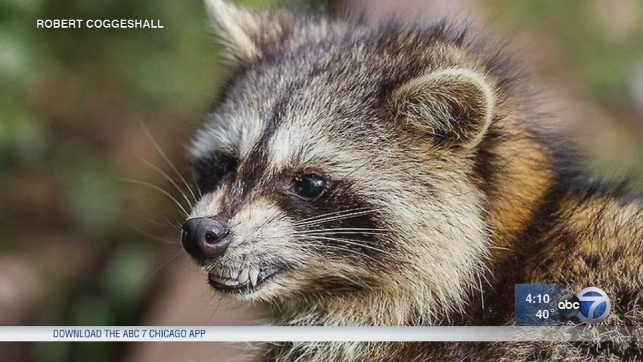 Stickney police warn of 'growling' raccoons possibly infected with distemper