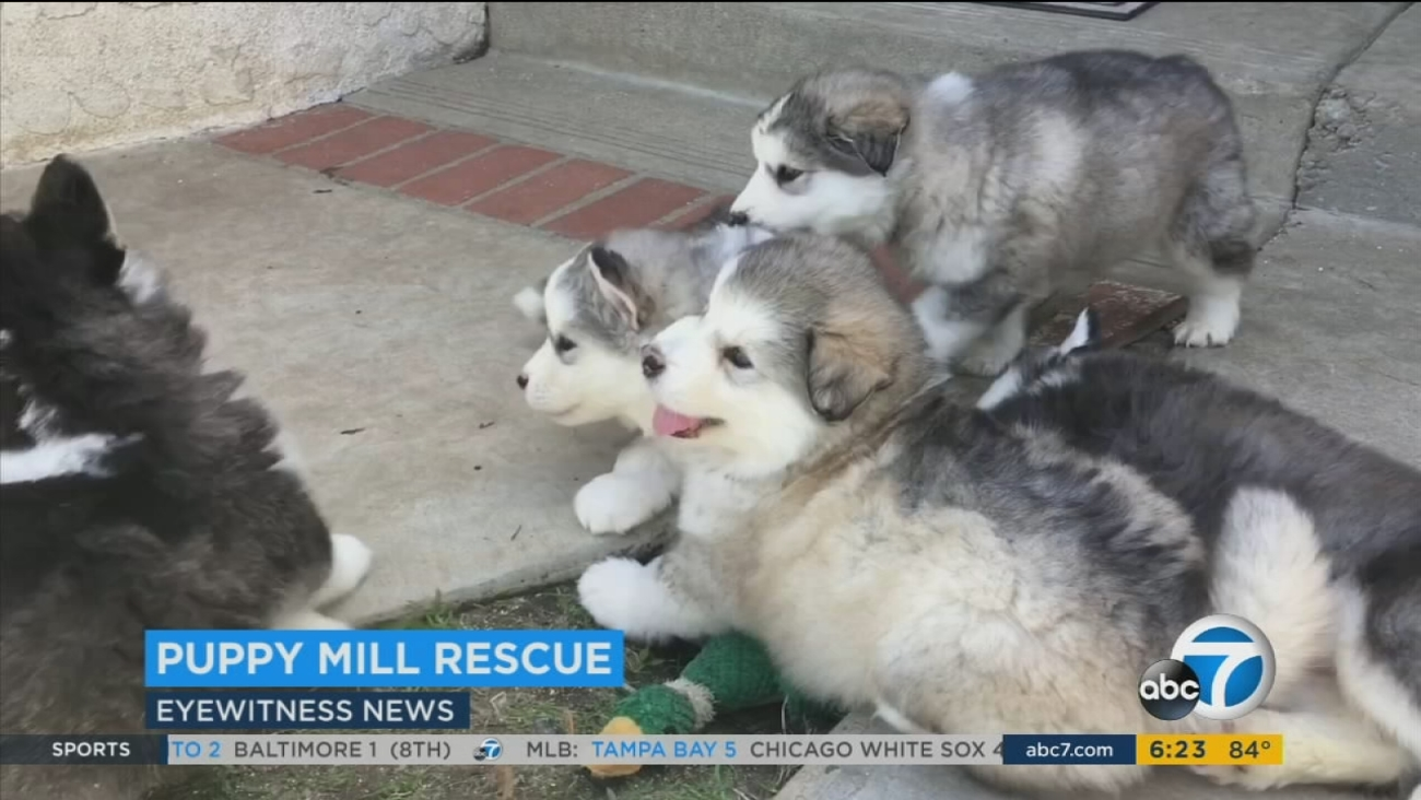 Rescued Malamute Puppies Now Safe In Simi Valley Abc7com