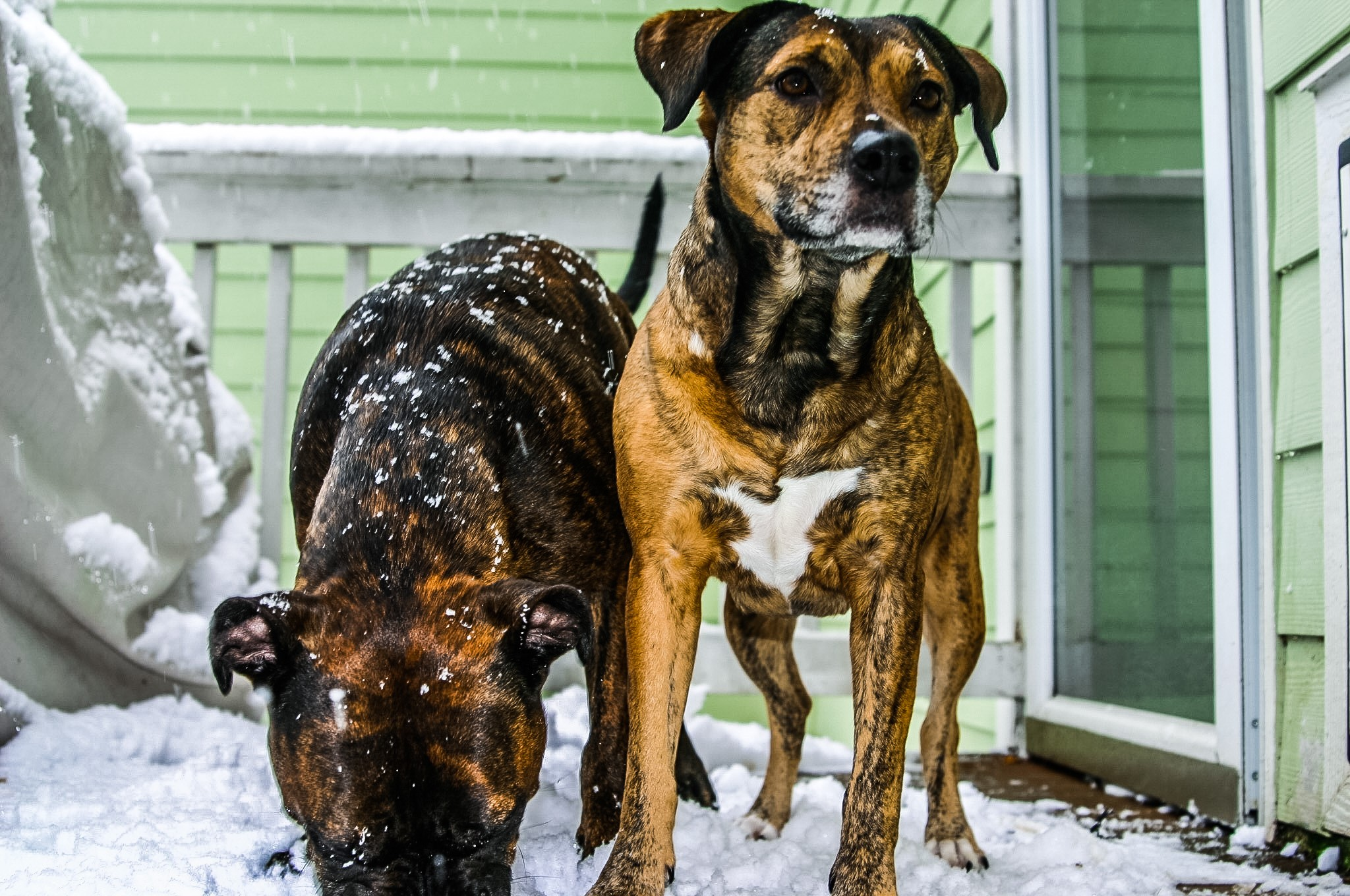 """<div class=""""meta image-caption""""><div class=""""origin-logo origin-image none""""><span>none</span></div><span class=""""caption-text"""">Don's dogs Haden and Harley</span></div>"""
