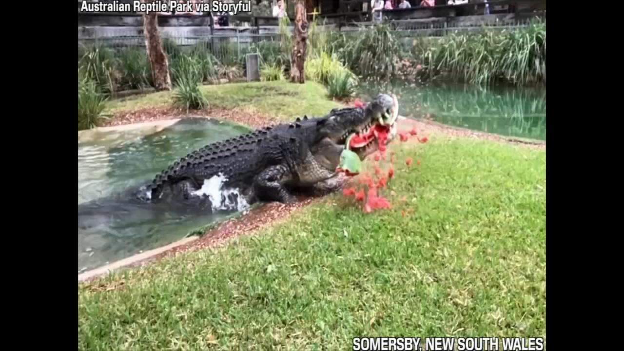 'Cranky' crocodile eats watermelon in one powerful bite ...