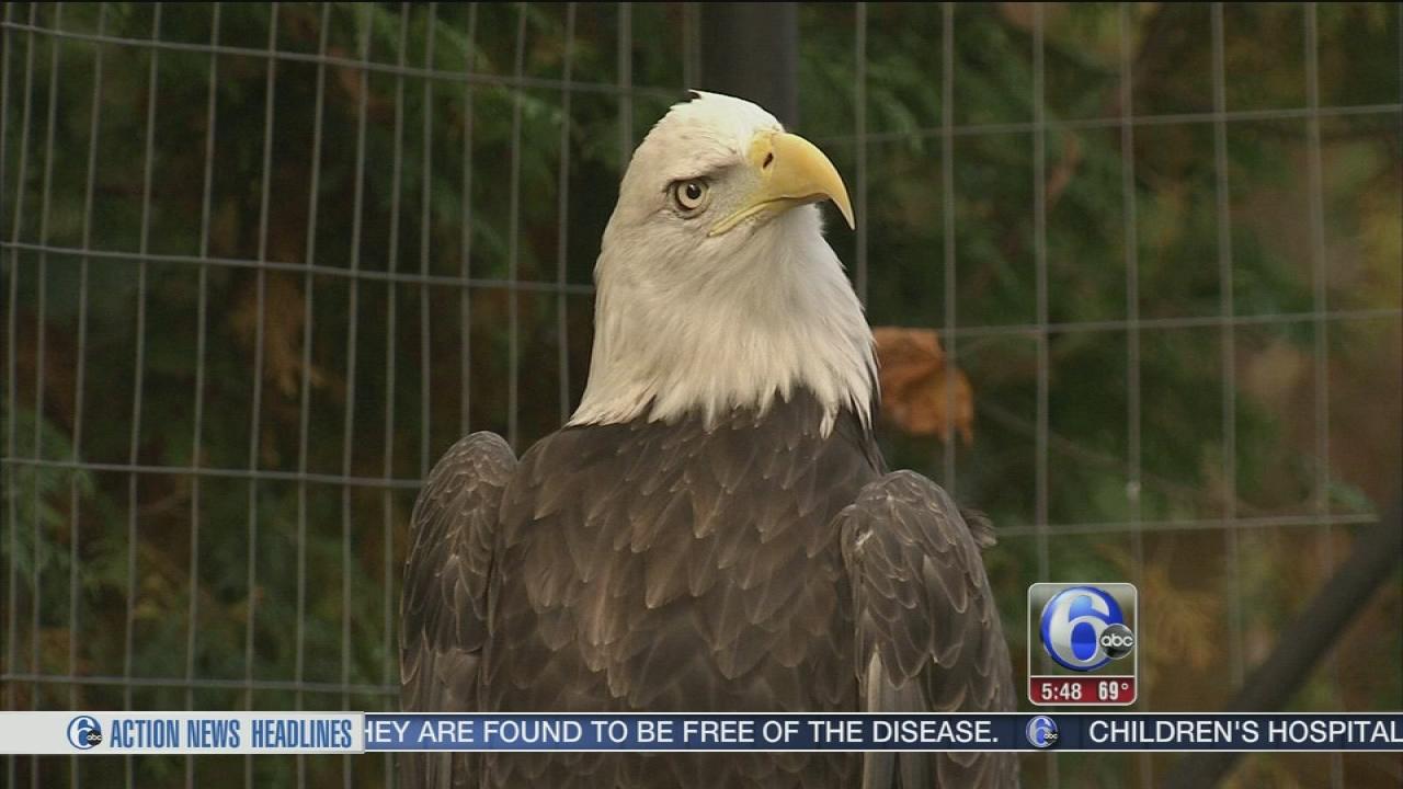 graphic regarding Philadelphia Eagles Printable Schedule called Video clip: Birds welcome Bald Eagle mascot