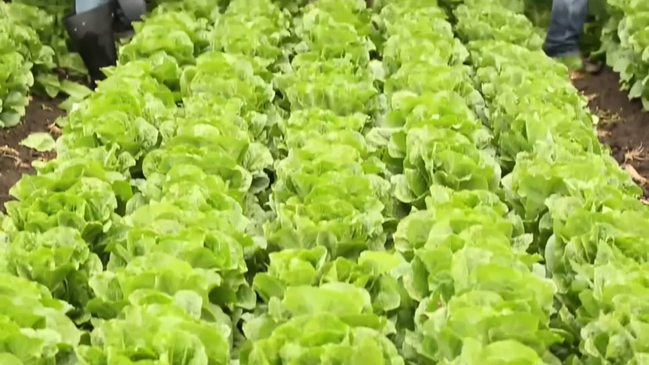 Cautionary Recall Of Lettuce Products Issued By Sam S Club