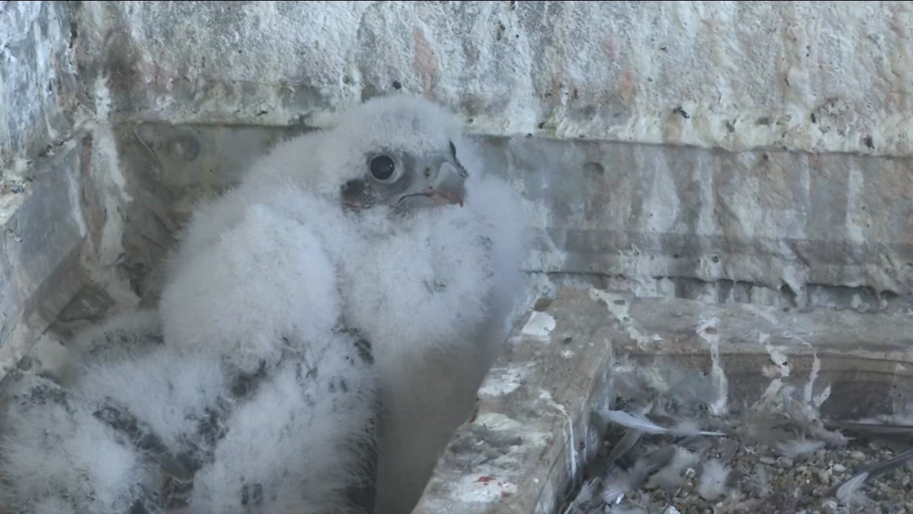 A fluffy baby falcon appears in San Francisco on Thursday, April 19, 2018.