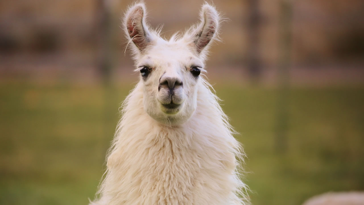 A llama is pictured in this undated file photo.