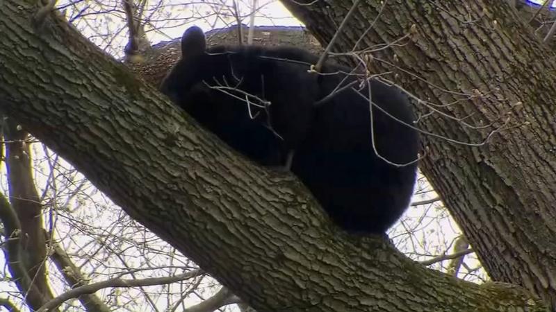 Bear found sleeping in tree in NJ