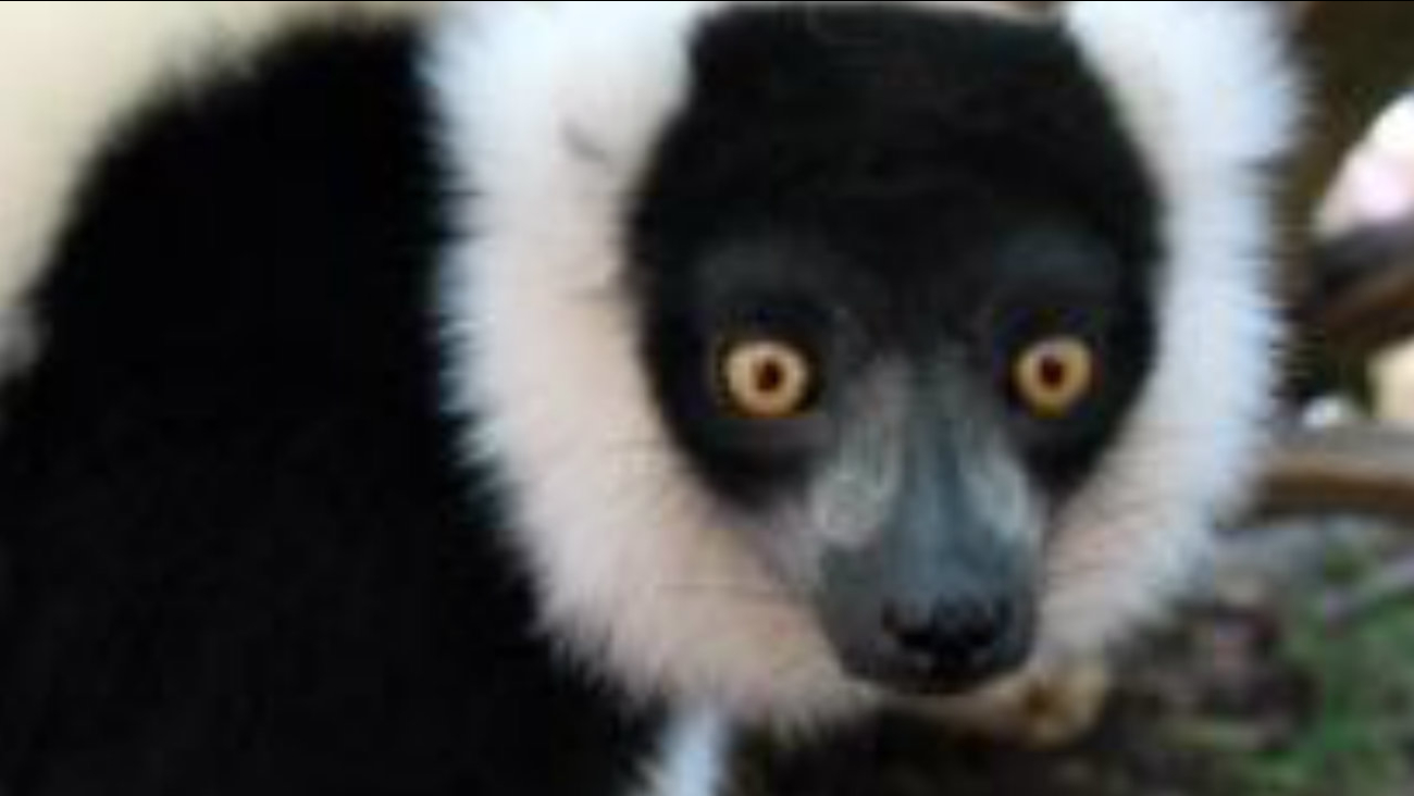 A lemur is seen at the San Jose zoo in this undated image.