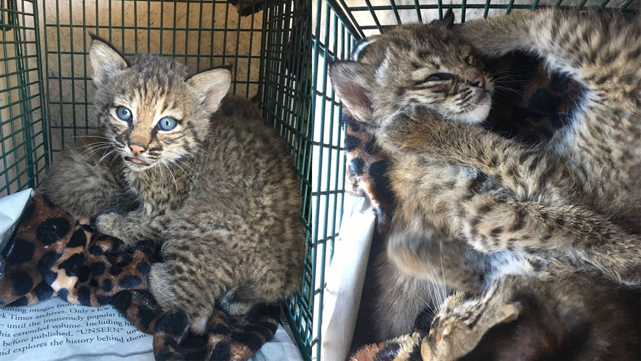 Rescuers Bitten After Mistaking Bobcats For Domestic Kittens In San
