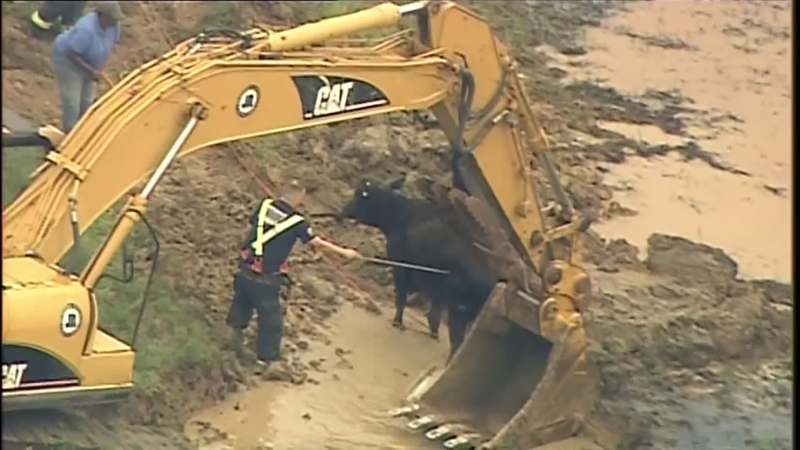 Cow on the 'mooooove' after stuck in mud