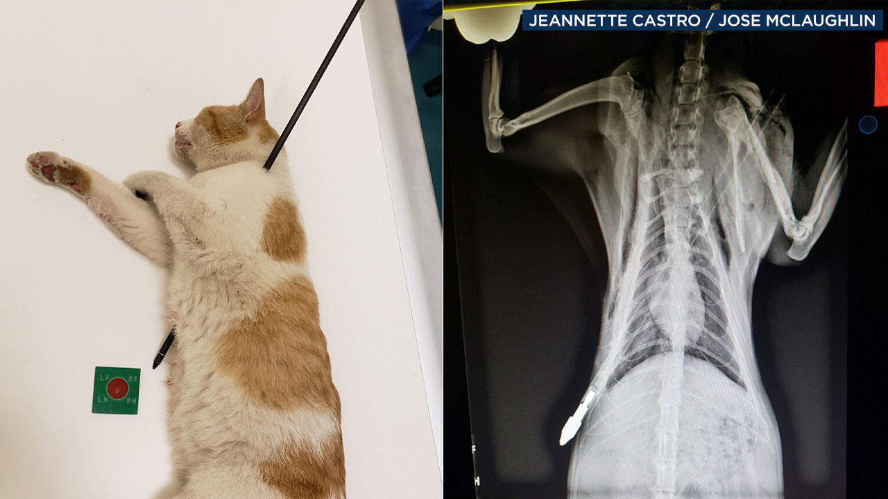A photo shows a cat with an arrow stuck in its body alongside an X-ray of the animal.