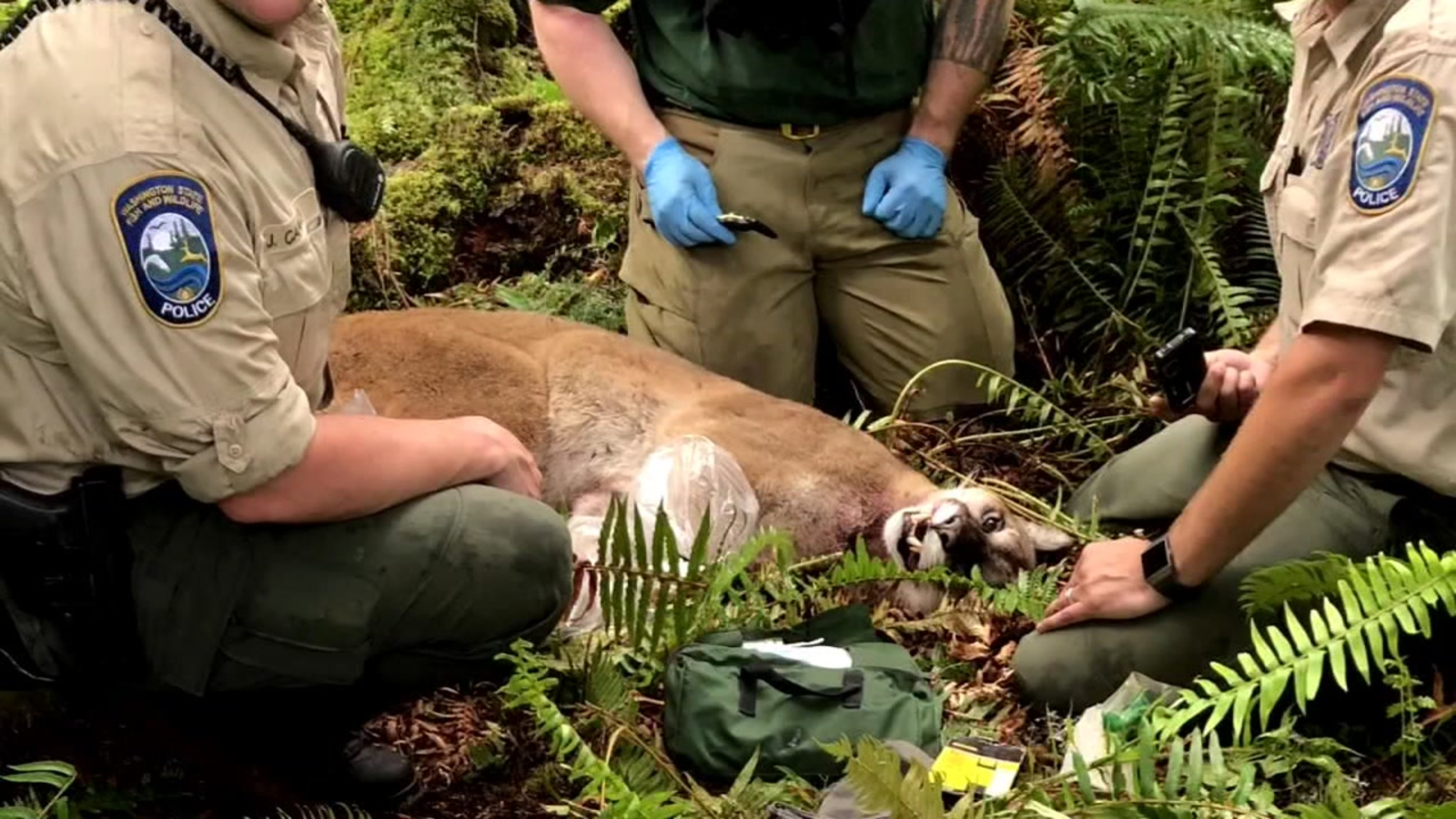 Mountain lion that killed cyclist was emaciated, officials say