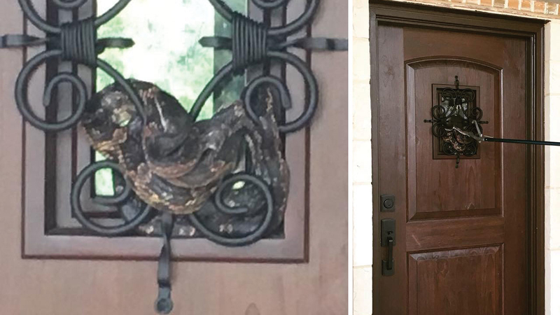 Nearly 7-foot Texas rat snake cozies up to new neighbor's front door on