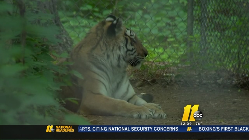 Love animals? Carolina Tiger Rescue always needs volunteersNC Tiger Rescue