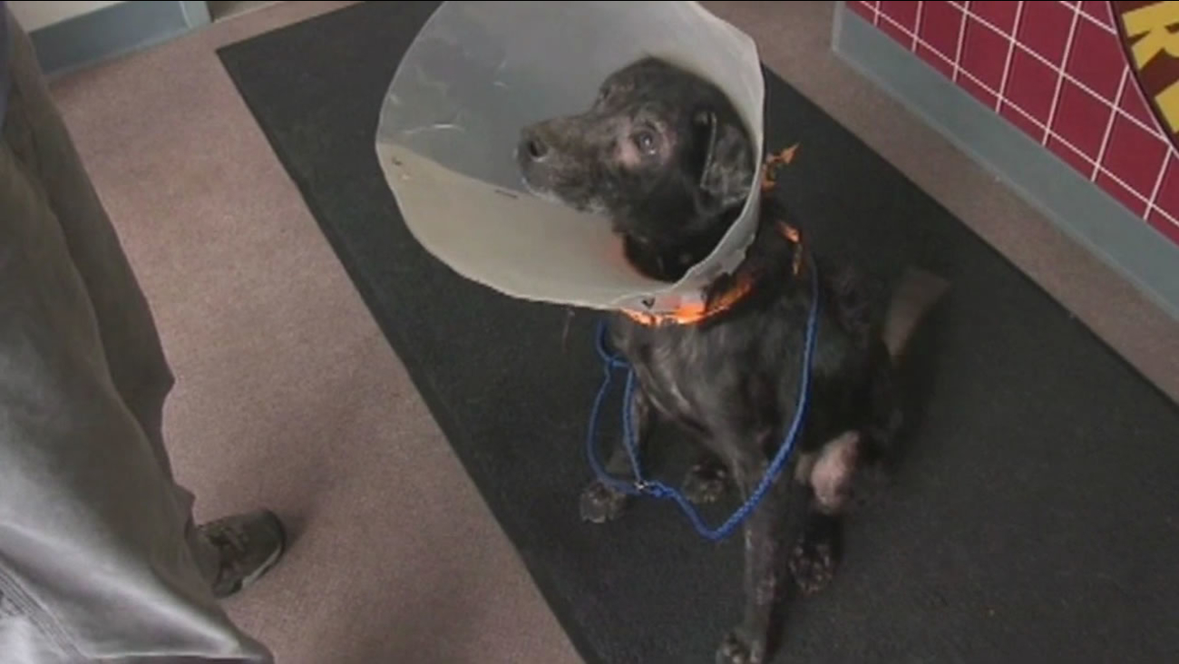 Many people are allergic to animals, but a shelter in the Midwest is trying to help a dog that is allergic to people.