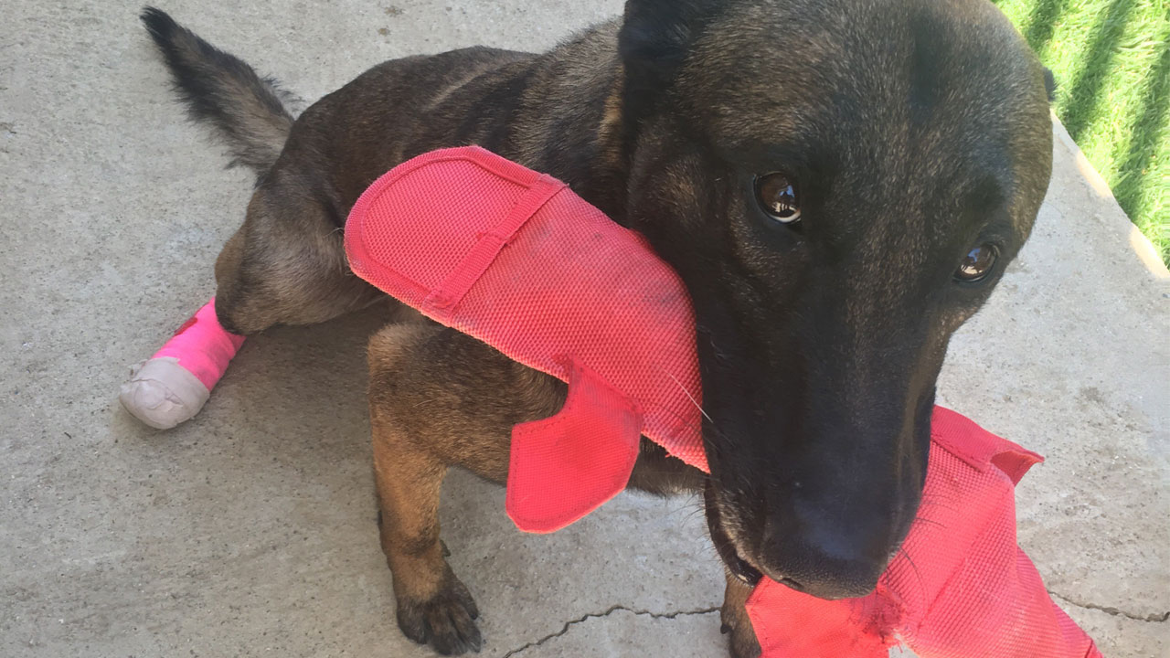 K-9 Duke is shown with a bandage on his hind leg after he was struck by a burglary suspect's vehicle on Sunday, May 27, 2018.