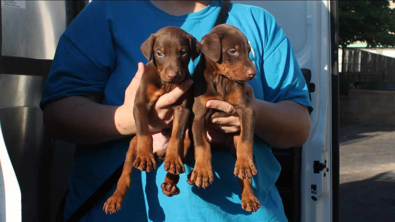 Officers removed 10 puppies, including multiple 4-week-old Doberman Pinschers and a 3-month-old Siberian husky.