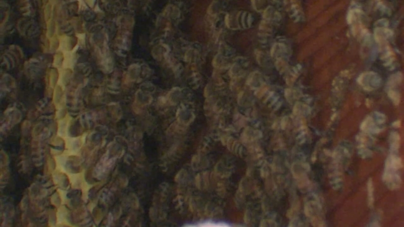 Watch: Tens of thousands of bees removed from inside Texas home's