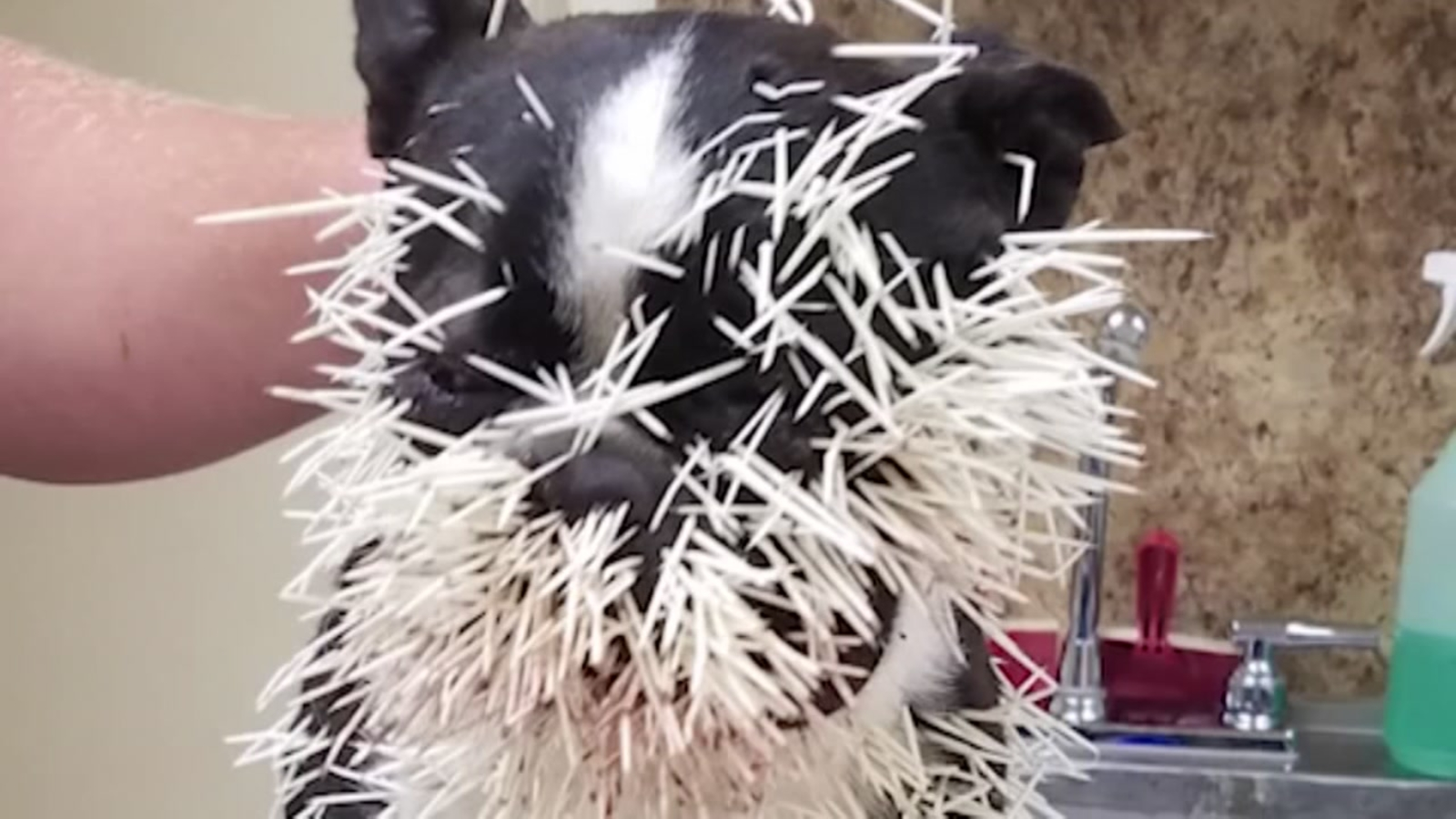 Poor Pups! Porcupine leaves Texas dogs with face full of ...