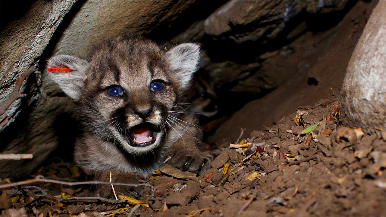 Mountain lion kitten found