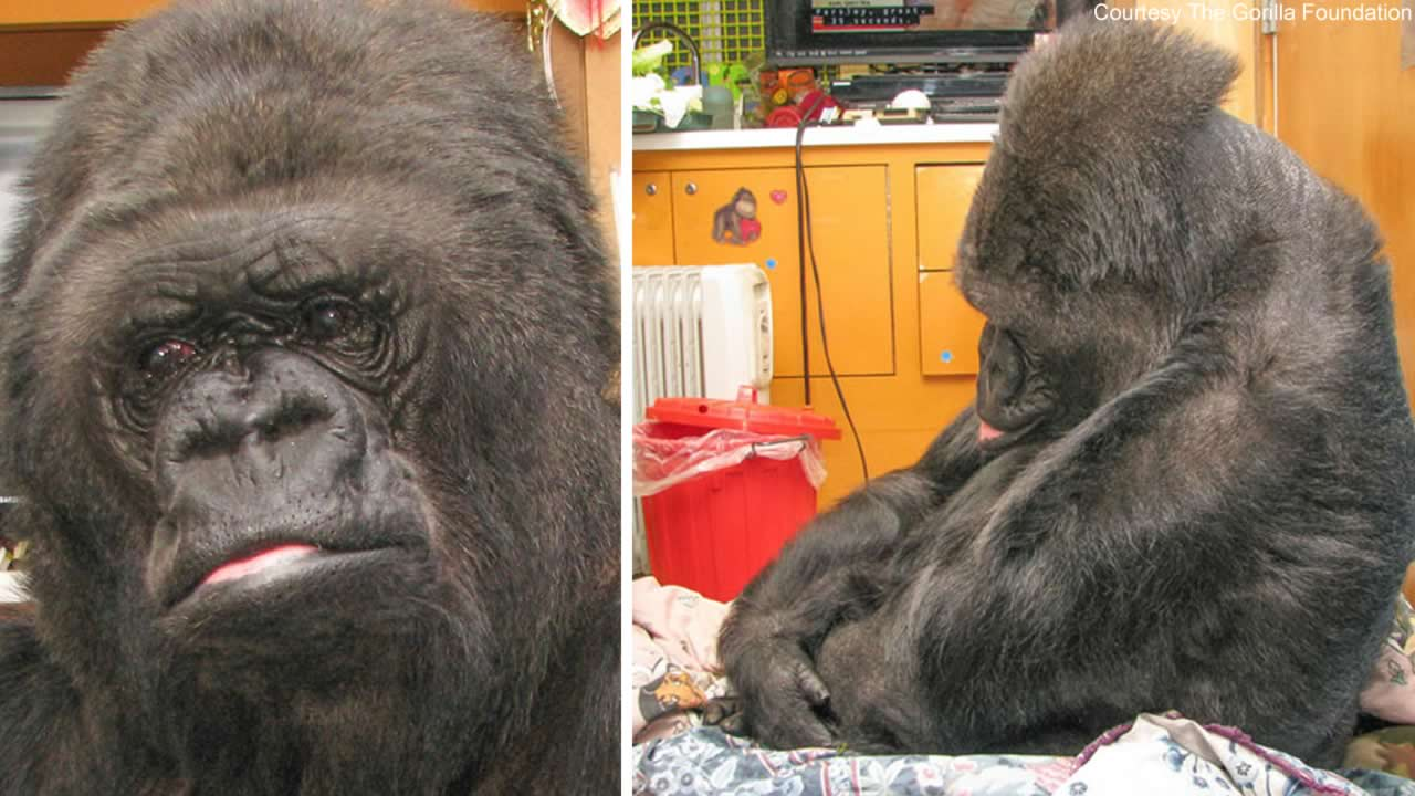 Koko the gorilla saddened to hear the news of Robin Williams' death.