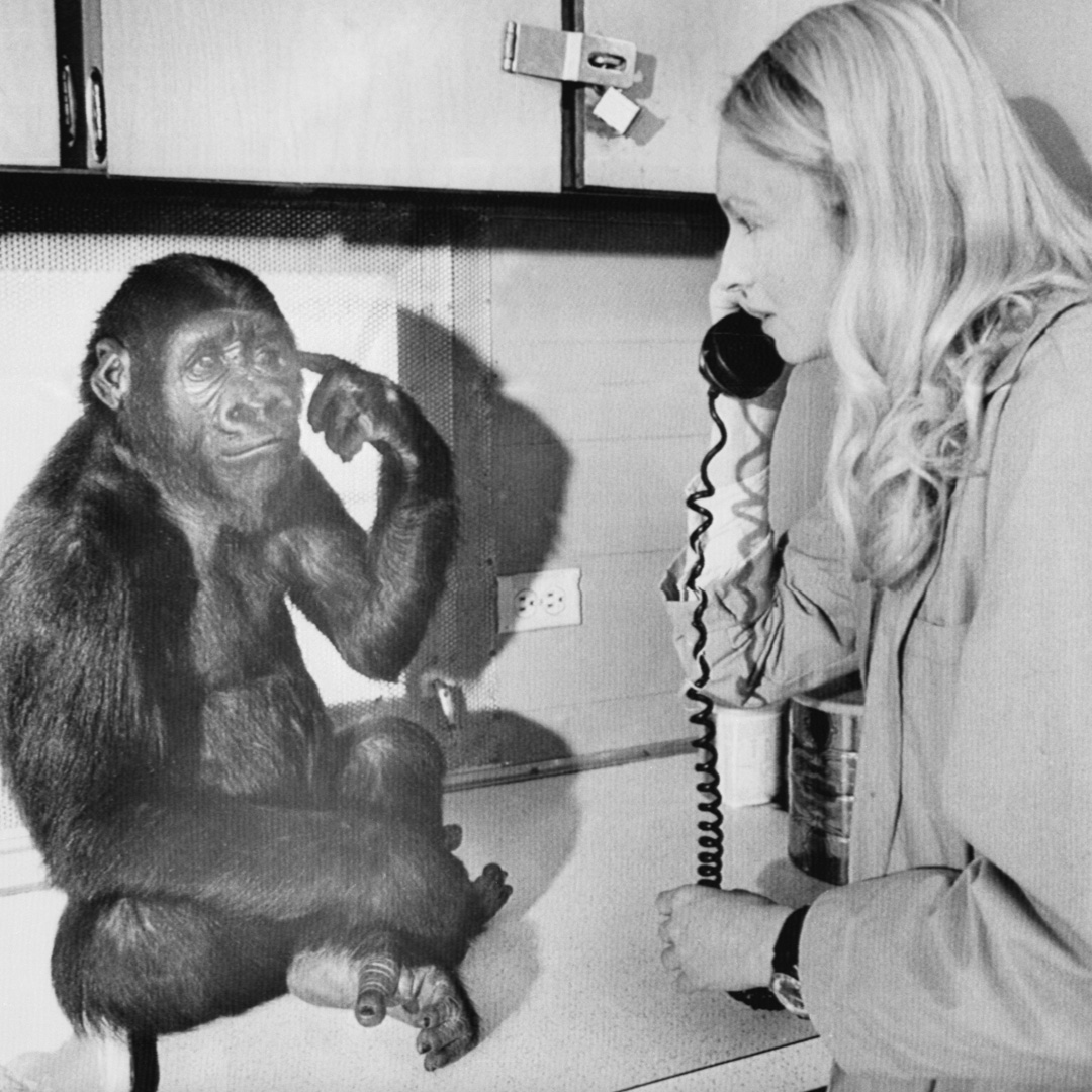 "<div class=""meta image-caption""><div class=""origin-logo origin-image none""><span>none</span></div><span class=""caption-text"">Koko, known as the gorilla who mastered sign language, died in her sleep at age 46, the Gorilla Foundation said in a statement on June 21. (Bettmann/Getty Images)</span></div>"