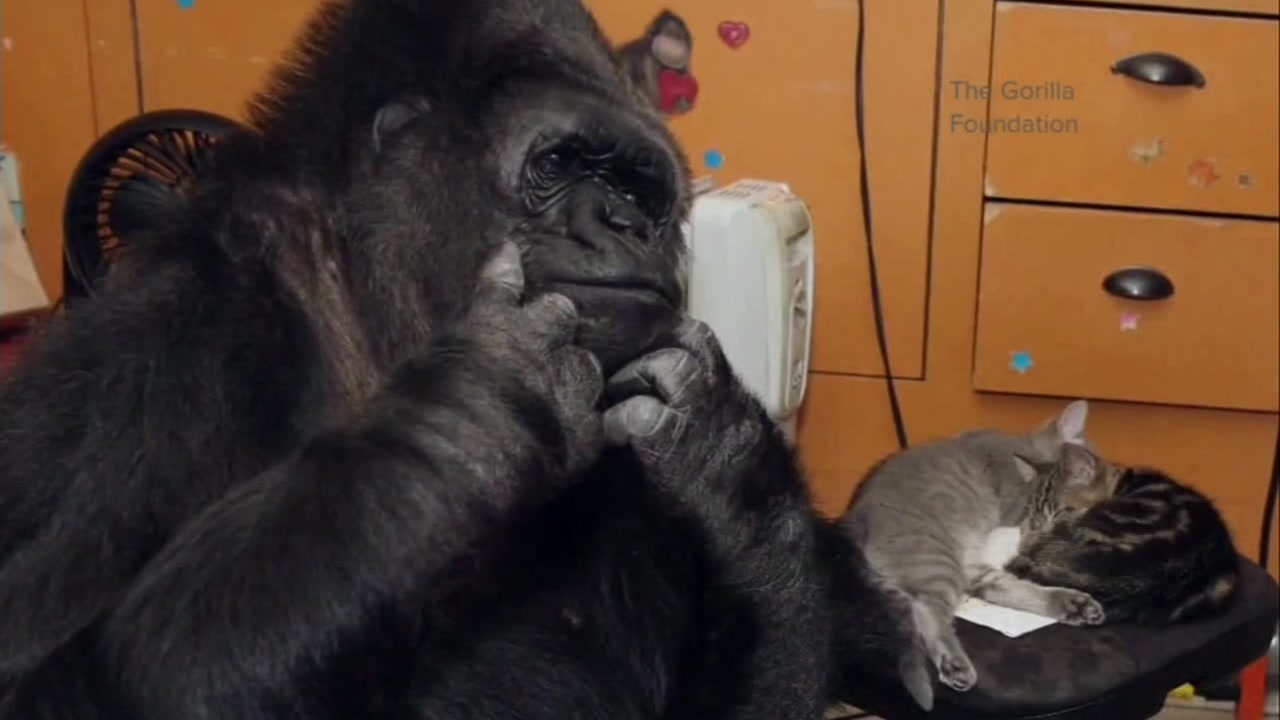 koko the gorilla who knew sign language being remembered around