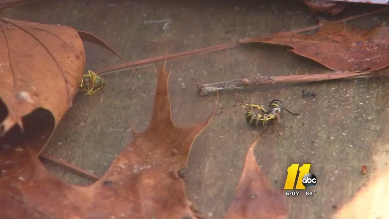 exterminator tackles massive hornet hive in car