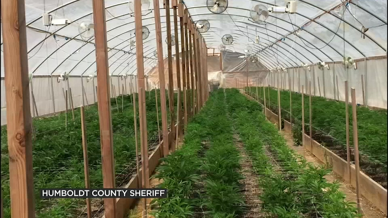 Illegal pot farms in Northern California's Emerald Triangle facing