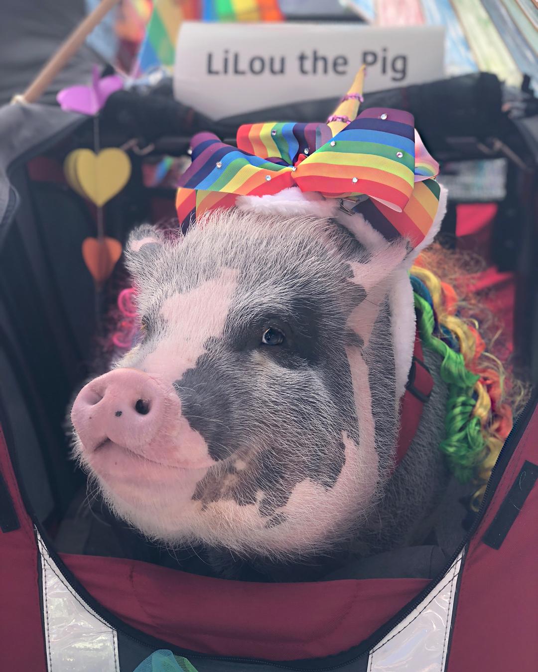 """<div class=""""meta image-caption""""><div class=""""origin-logo origin-image none""""><span>none</span></div><span class=""""caption-text"""">LiLou the Pig celebrates her first Pride Parade in San Francisco on Sunday, June 24, 2018. (@lilou_sfpig/Instagram)</span></div>"""