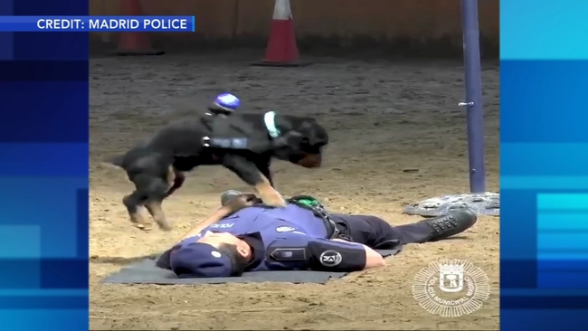 Video Dog Performs Cpr On Human Handler In Demonstration Abc7