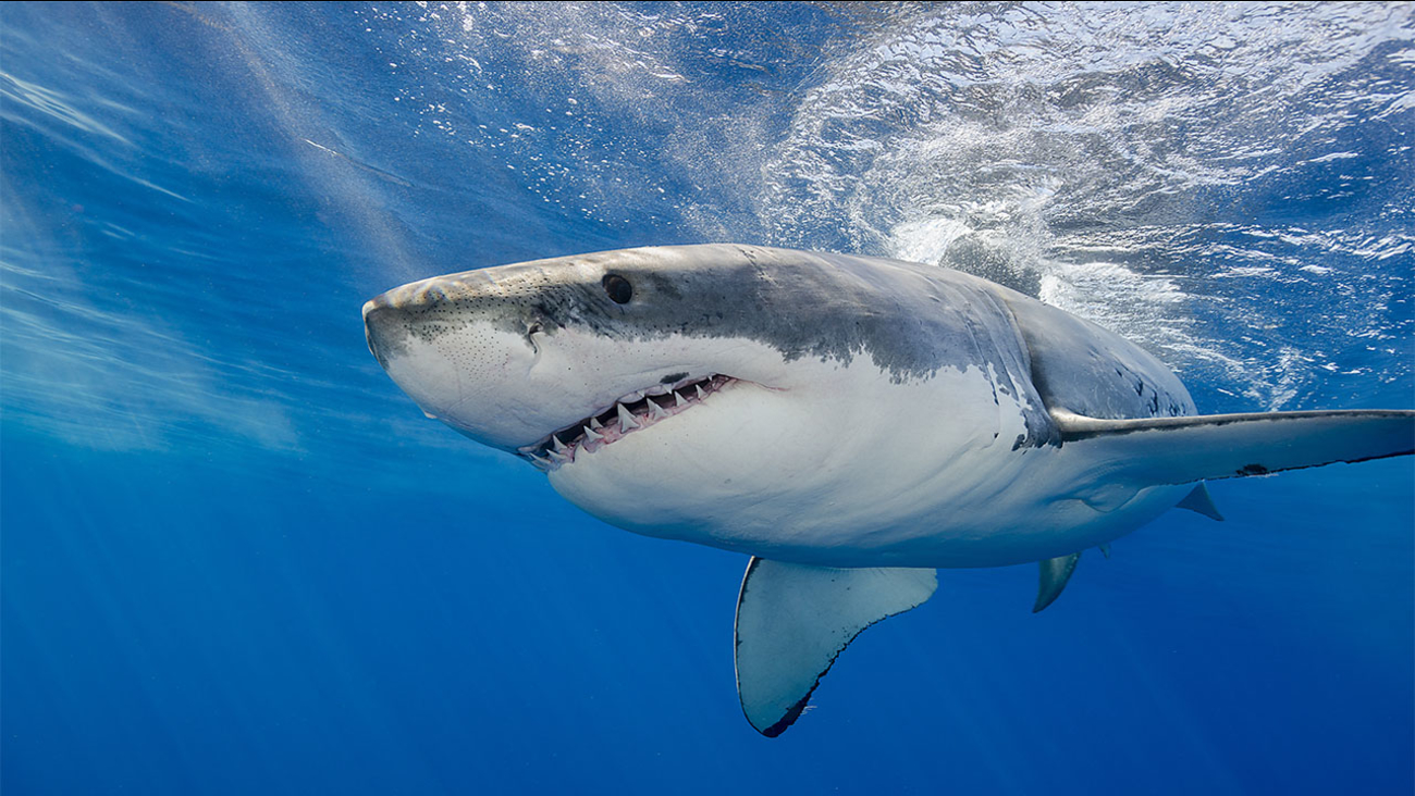 3 Great White sharks recently tracked off the coast of North ...