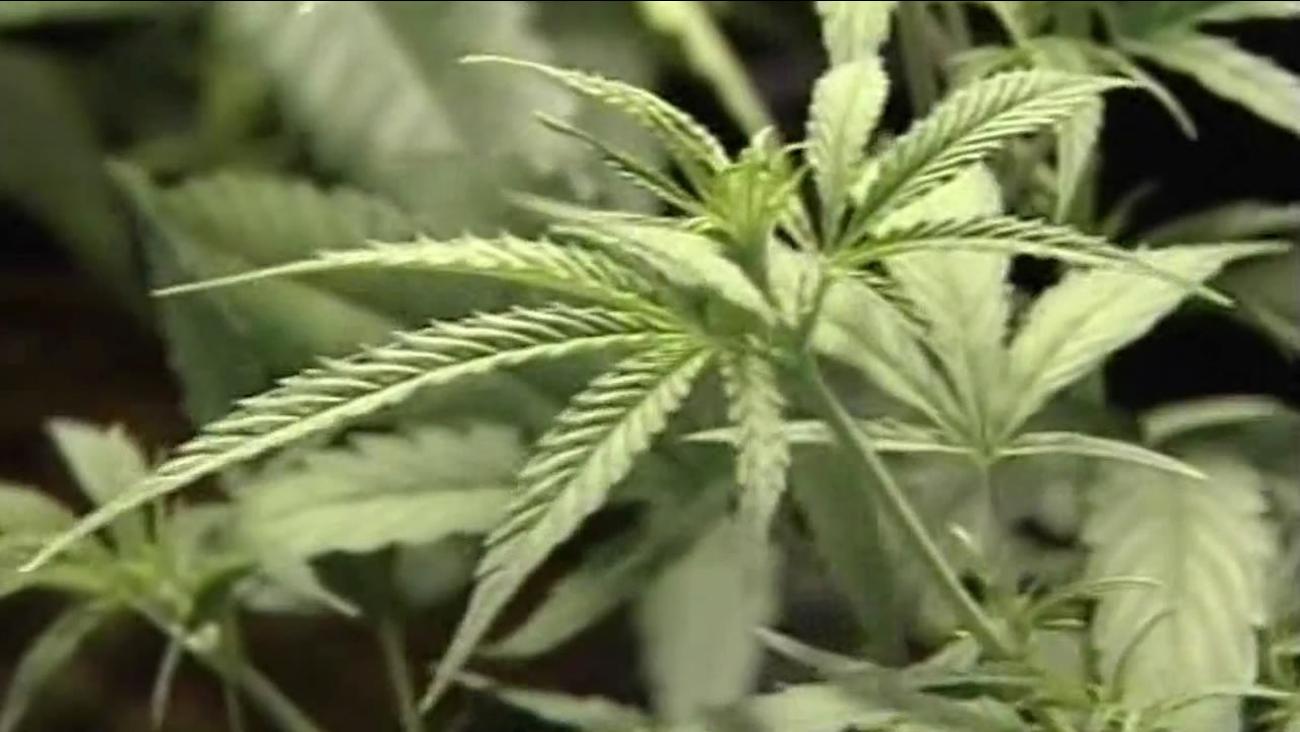 Leaves on a marijuana plant.
