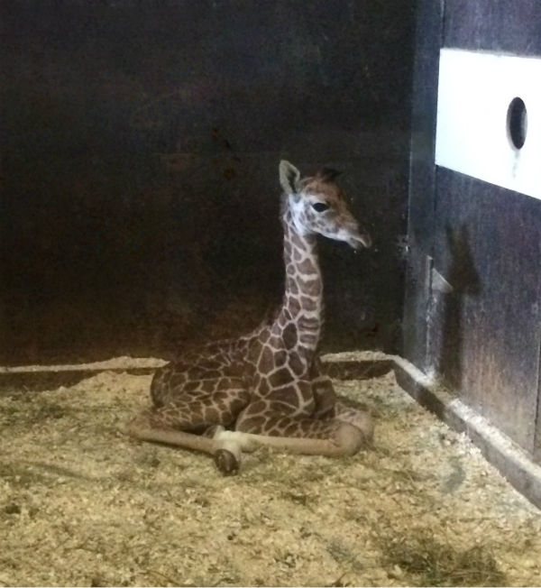 "<div class=""meta image-caption""><div class=""origin-logo origin-image ""><span></span></div><span class=""caption-text"">Mika, a female reticulated giraffe, was born to first-time mom Noel on Oct. 11 inside the giraffe barn.</span></div>"