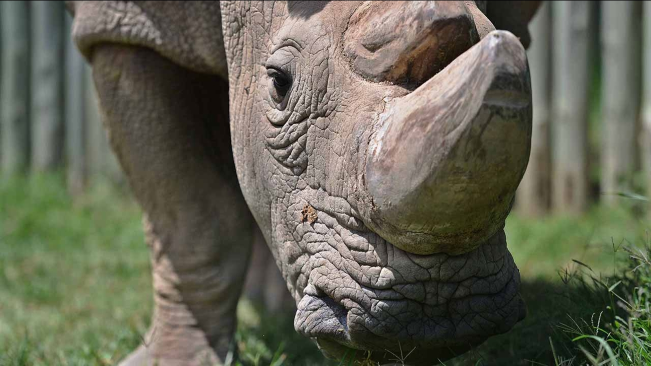 Scientists have used in-vitro fertilization techniques to develop hybrid rhino embryos which could help save the endangered northern white rhinoceros species.