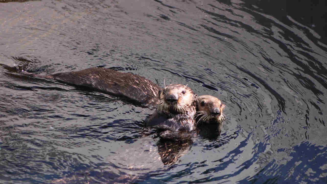 A to-be-named otter (left front) is seen with another otter, Langly (right) in this undated image.