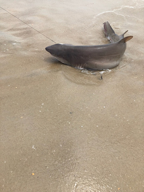 "<div class=""meta image-caption""><div class=""origin-logo origin-image wabc""><span>WABC</span></div><span class=""caption-text"">Photos of sharks captured off Fire Island on Thursday, July 19, 2018, one day after 2 children were bitten. (Courtesy: Angelo DiGrigoli)</span></div>"