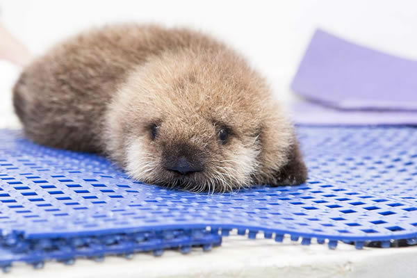 orphaned sea otter pup rescued kabc7 photos and